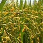 Higher rice prices for farmers this year