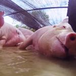 Thai swine raisers call for Government's ban of US pork imports